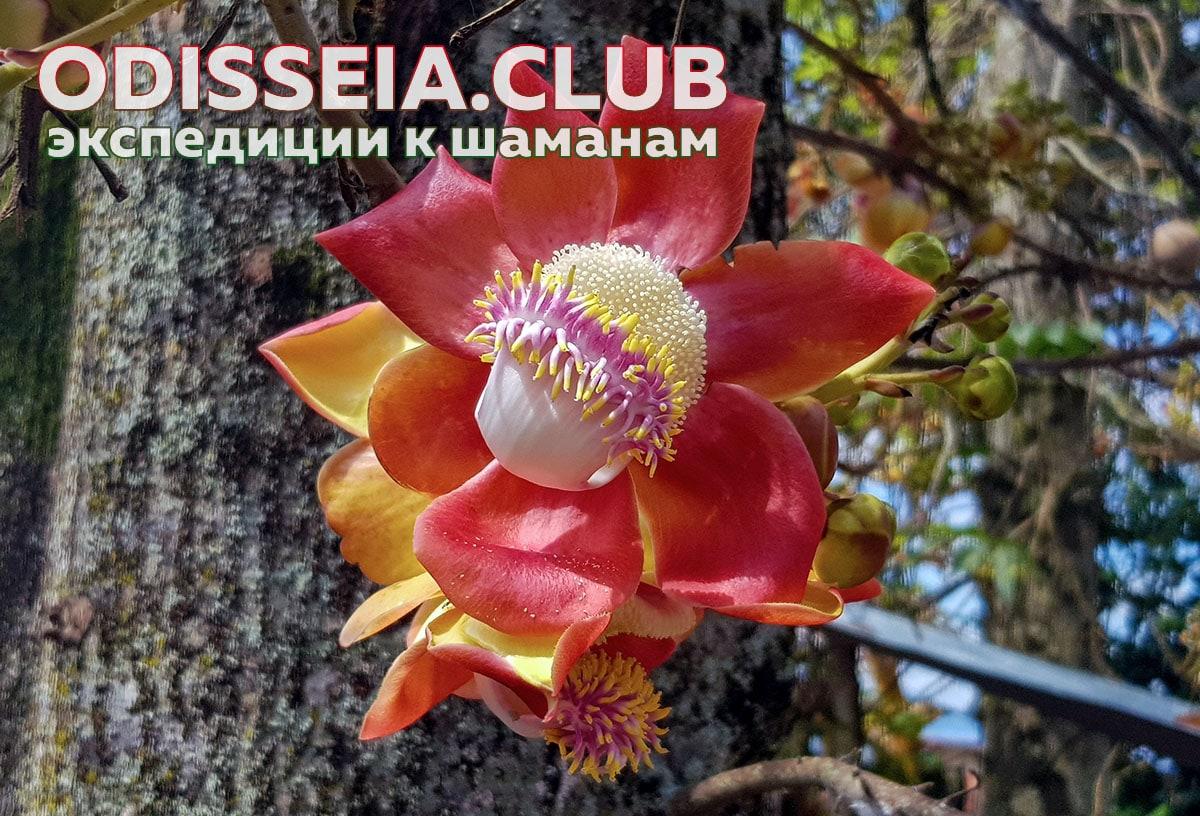 Аяума - растение-учитель в Амазонии
