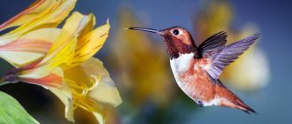 Колибри пьёт нектар из цветка